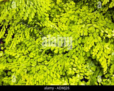 Evergreen Maidenhair ADIANTUM VENUSTUM Pteridaceae himalya  - Stock Photo