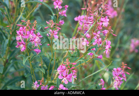 fireweed, blooming sally, rosebay willow-herb, great willow-herb (Epilobium angustifolium), blooming - Stock Photo
