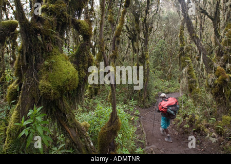 Africa Tanzania Kilimanjaro National Park MR Climbing partys porter descends trail through rainforest below Mweka - Stock Photo