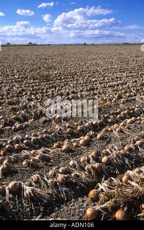 Onion harvest in Canyon County Idaho  - Stock Photo