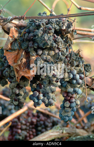 Grapes Rotting on the Vine after a Bumper Harvest in Chianti in 2004 - Stock Photo