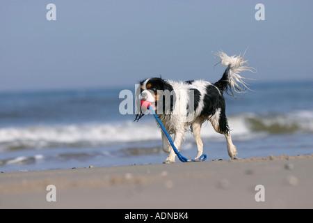 Cavalier King Charles Spaniel, tricolor, retrieving ball at beach - Stock Photo