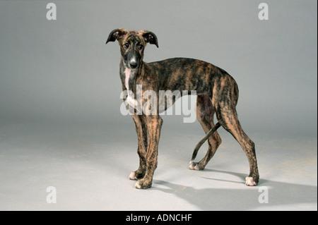 Spanish Greyhound, puppy, 12 weeks Galgo Espanol side - Stock Photo