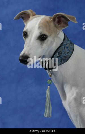 Whippet collar - Stock Photo