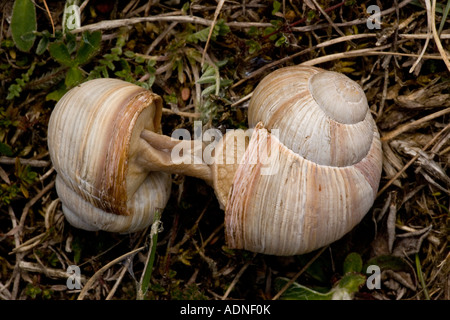 Roman snails (Helix pomatia) mating, close-up, Sweden, Europe - Stock Photo