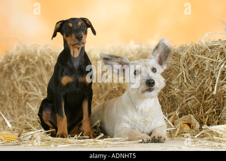 German Pinscher, puppy, 10 weeks, and Mixed Breed Dog - Stock Photo