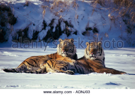 Two Siberian Tigers lying in the snow (Panthera tigris altaica) - Stock Photo