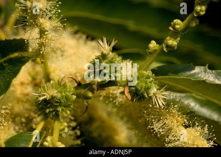 Sweet chesnut in flower female flowers Castanea sativa South Europe - Stock Photo