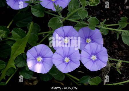 Blue rock bindweed (Convolvulus sabatius) close-up, Italy, Europe - Stock Photo
