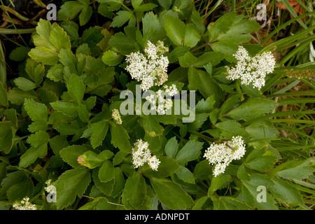Scots lovage Ligusticum scoticum Rare coastal plant in Scotland - Stock Photo