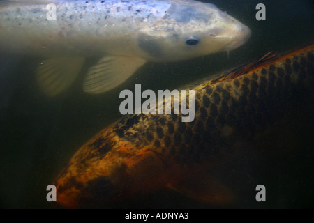 A silver koi carp underwater stock photo royalty free for Coy carp pond