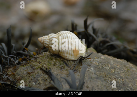 Shell and seaweed on a rock at low tide - Stock Photo
