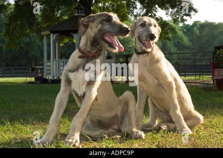 4 month old Irish Wolfhound puppies - Stock Photo