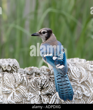 Blue Jay drinking from a bird bath, (cyanocitta cristata). Oklahoma, USA. - Stock Photo
