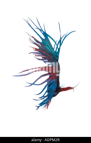 Turquoise and Red Crown Betta fish displaying elaborate fin detail and flowing tail from behind with a white background - Stock Photo
