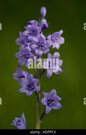 Hybrid bluebell common x spanish Invasive in the british countryside Hyacinthoides non scripta x H hispanica - Stock Photo