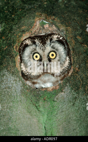 Tengmalm Owl looking at of hole Lower Saxony Germany Aegolius funereus - Stock Photo