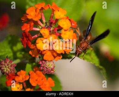 Red Wasp on Lantana camara. Oklahoma City, Oklahoma, USA. - Stock Photo