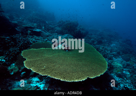 Table coral Acropora hyacinthus Rocky point Apo island Marine Reserve Philippines - Stock Photo