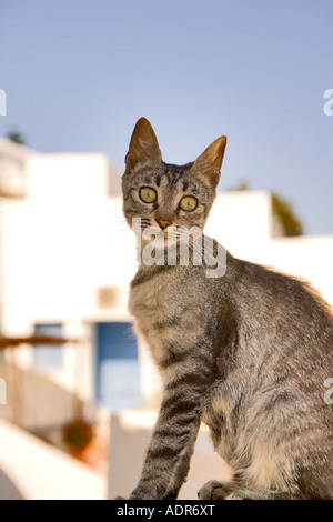 Young tabby cat - 'Santorini', 'Greece'. - Stock Photo