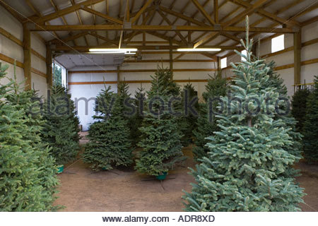 Christmas trees in a barn - Stock Photo