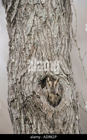 Eastern Screech-Owl Megascops asio Otus asio adult in hole in mesquite tree camouflaged Willacy County Rio Grande - Stock Photo