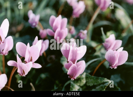 Cyclamen hederifolium - Stock Photo