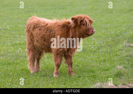Highland calf in pasture grazing and feeding on farmland separate separated cow alone single and unattended alone - Stock Photo