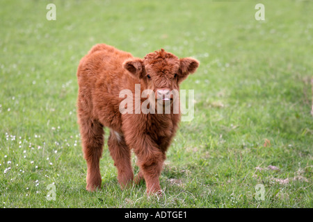 Highland calf in pasture grazing and feeding on farmland separate separated from cow alone single and unattended - Stock Photo
