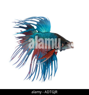 Turquoise and Red Crown Betta fish displaying elaborate fins and gesturing with its mouth open facing right - Stock Photo