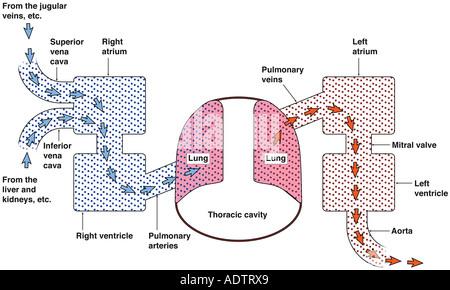 Cardiopulmonary System Stock Photo 9668136 Alamy