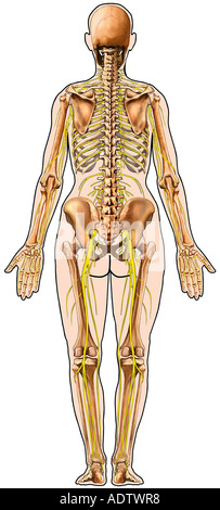 Skeleton Skeletal System Anatomy and Nerves within Body Outline Posterior View - Stock Photo