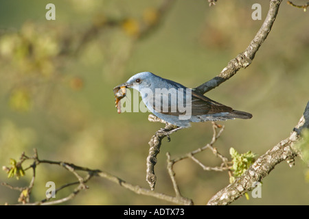 Blue Rock Thrush Monticola solitarius Male carrying food to nest below Ipsilou monastery Lesvos - Stock Photo