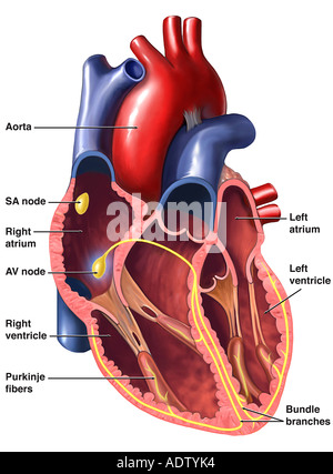 Cardiac conduction system of the heart stock photo 7710814 alamy heart cardiac conduction system stock photo ccuart Choice Image
