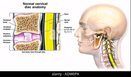 Normal Anatomy of the Cervical Disc - Stock Photo