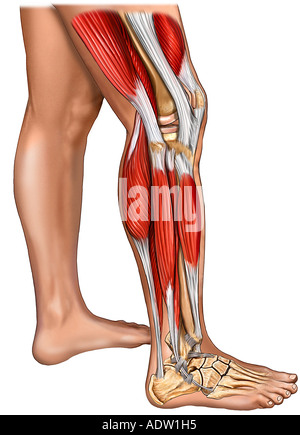 Muscles of the Leg, Knee, and Foot with Skin: Lateral View - Stock Photo