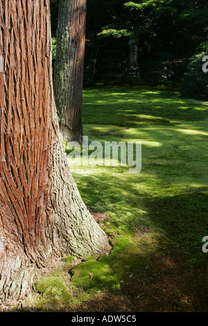 Japanese Cedar Tree Growing In Norfolk Stock Photo