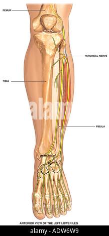 Normal Anatomy of the Left Lower Leg Bones - Stock Photo