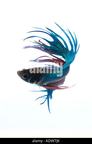 Turquoise and Red Crown Betta fish displaying elaborate fin detail and flowing tail spinning turning movement to - Stock Photo