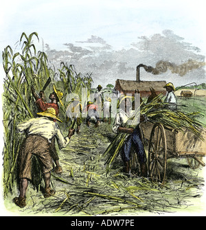 Black slaves harvesting sugar cane on a plantation in the US South 1800s. Hand-colored woodcut - Stock Photo