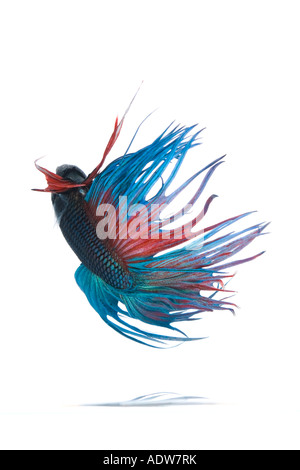 Turquoise and Red Crown Betta fish displaying elaborate fin detail and flowing tail turning upside down  from the - Stock Photo
