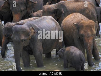 Elephants bathing in water at an orphange in Sri Lanka. - Stock Photo