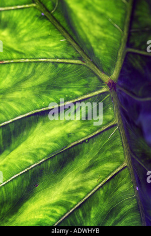 Alocasia. Elephant ear leaf. Light shining through a tropical leaf highlighting the structure. India - Stock Photo
