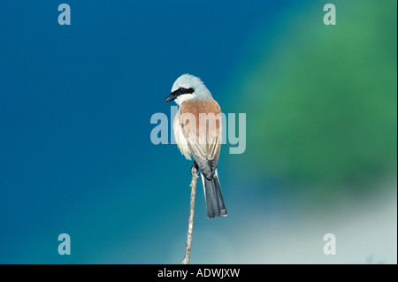 Red-backed Shrike Lanius collurio male Oberaegeri Switzerland May 1995 - Stock Photo