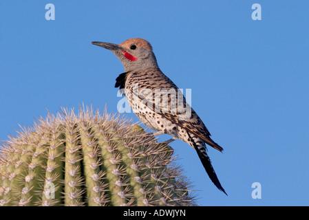 Gilded Flicker Colaptes auratus Tucson Pima Co ARIZONA USA 26 April Adult Male Picidae - Stock Photo
