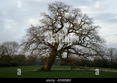 Falling oak tree Sherbourne Gloucestershire United Kingdom - Stock Photo