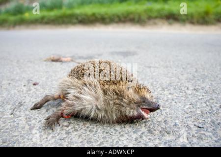 Dead hedgehog on country road Swinbrook Oxfordshire United Kingdom - Stock Photo