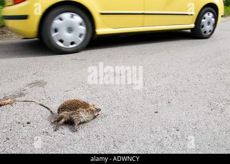 Car drives past dead hedgehog on country road Swinbrook Oxfordshire United Kingdom - Stock Photo