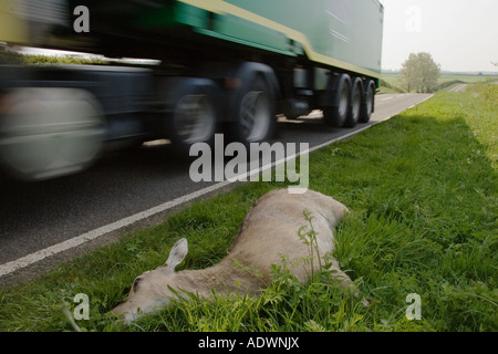 Lorry drives past corpse of dead deer by roadside on country road Charlbury Oxfordshire United Kingdom - Stock Photo
