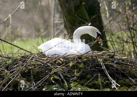 Female mute swan on nest Donnington Gloucestershire United Kingdom - Stock Photo